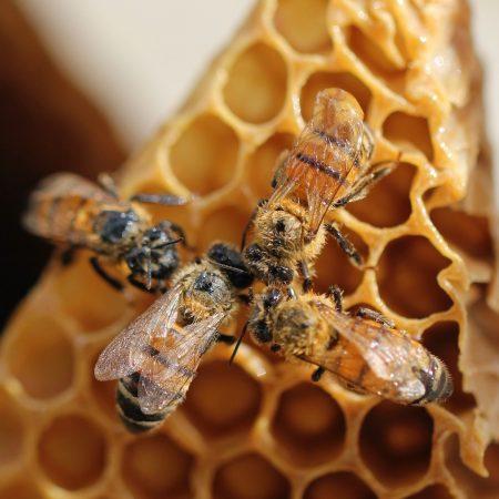 honeybees on a honey comb